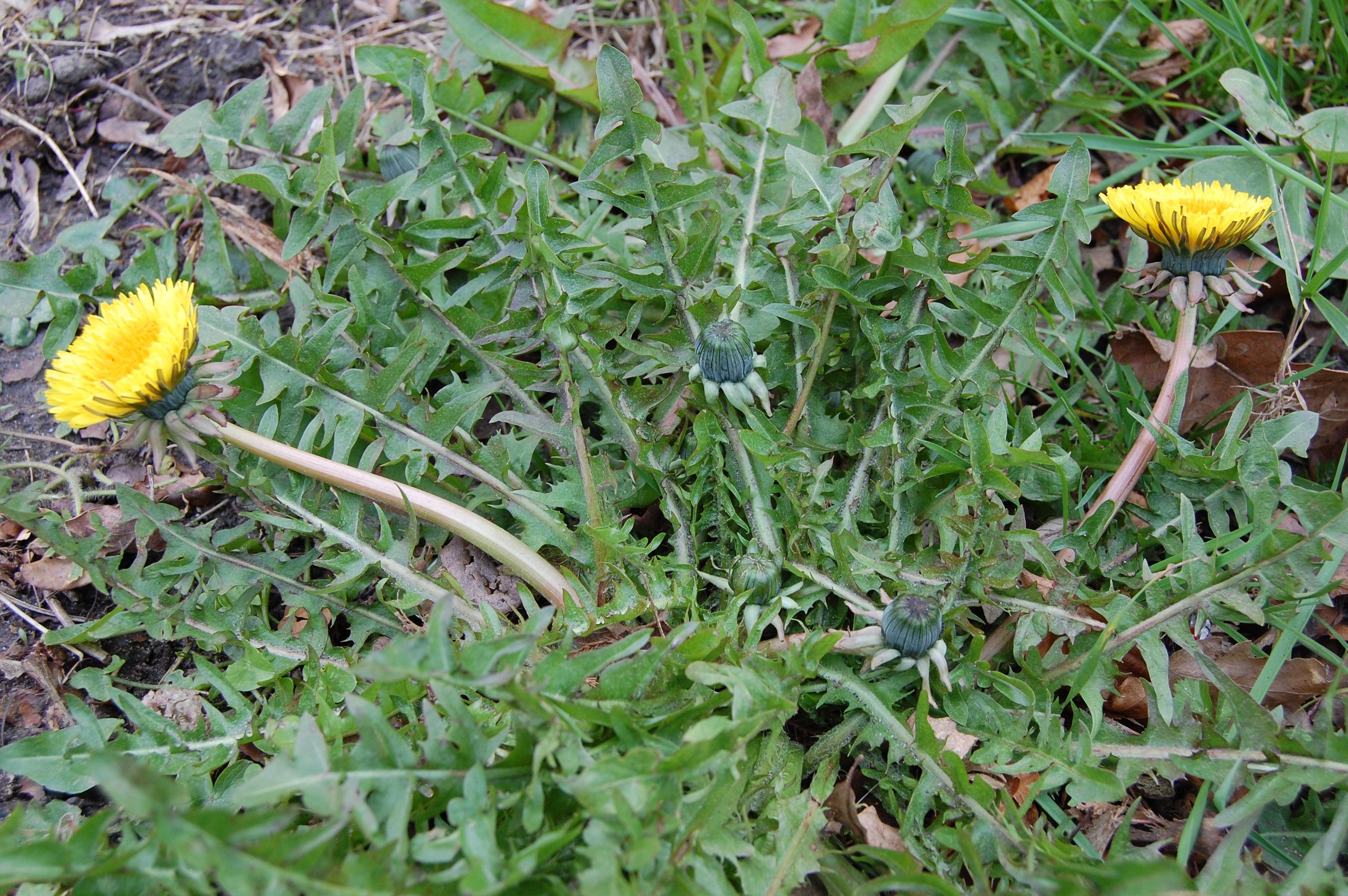 https://pictures.bgbm.org/digilib/Scaler?fn=Cichorieae/Taraxacum_lacerifolium_A_01.jpg&mo=file