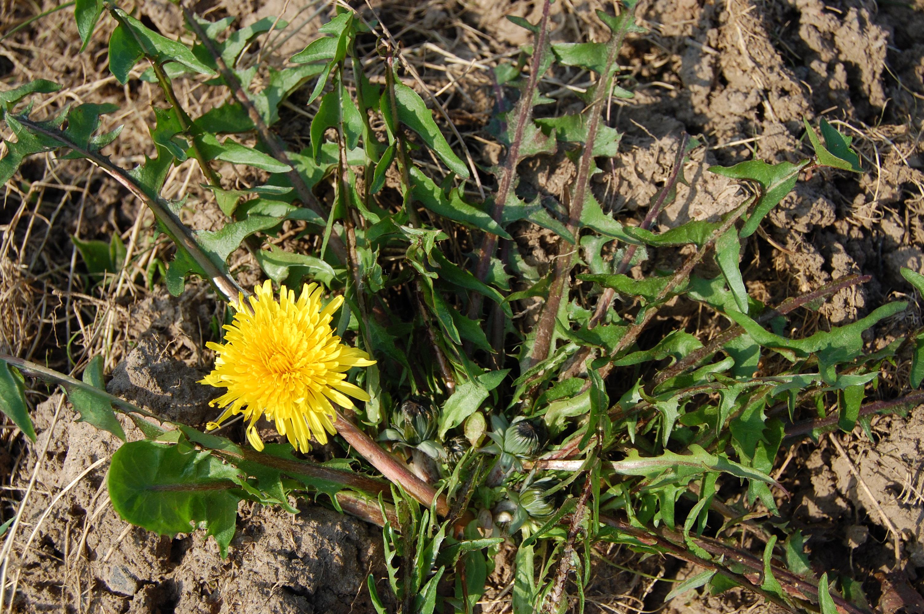 https://pictures.bgbm.org/digilib/Scaler?fn=Cichorieae/Taraxacum_lamprophyllum_A_01.jpg&mo=file
