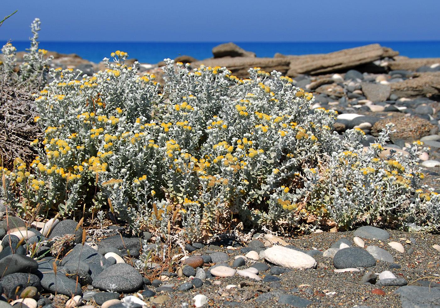 https://pictures.bgbm.org/digilib/Scaler?fn=Cyprus/Achillea_maritima_s_maritima_A1.jpg&mo=file