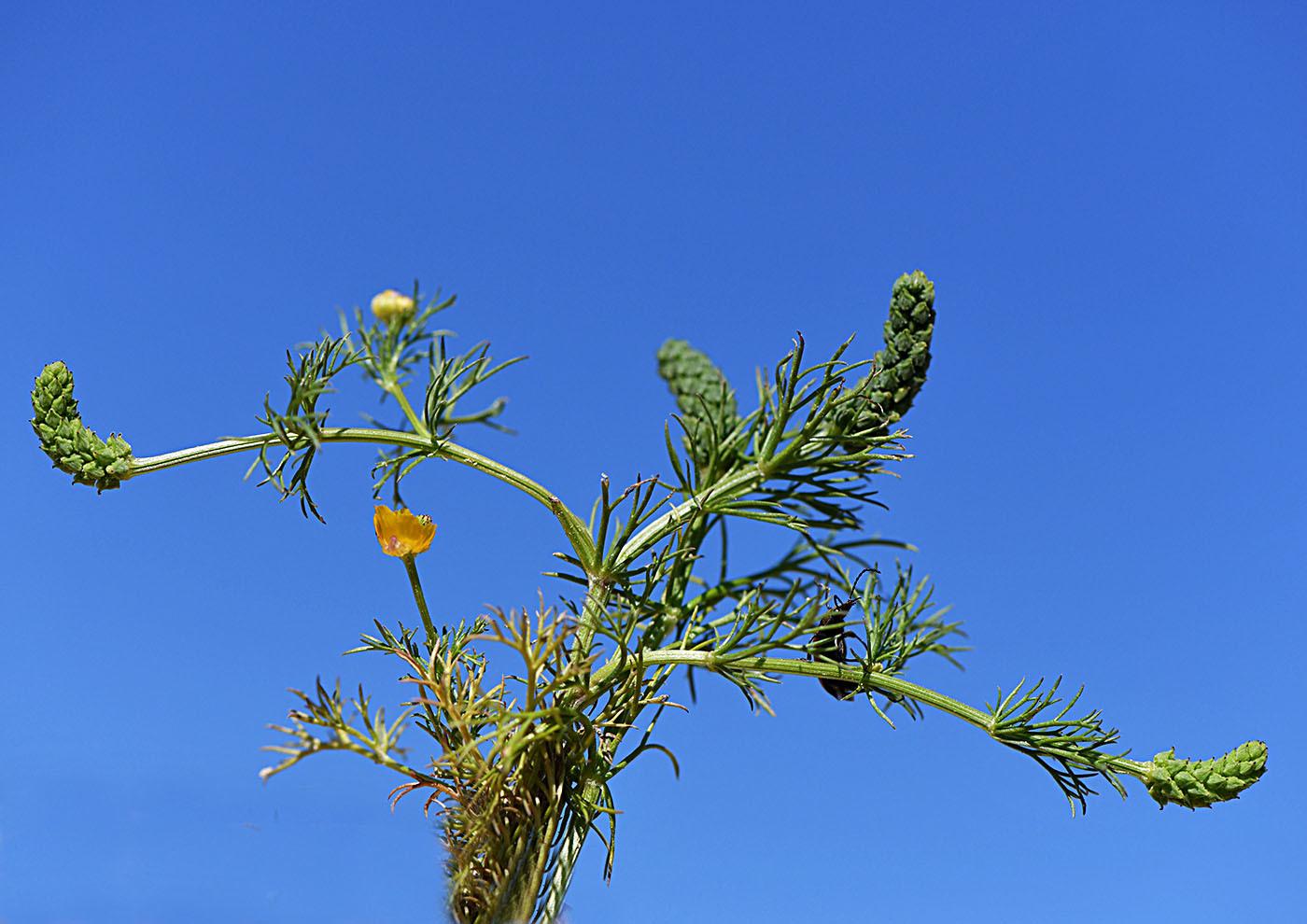 https://pictures.bgbm.org/digilib/Scaler?fn=Cyprus/Adonis_dentata_C1.jpg&mo=file