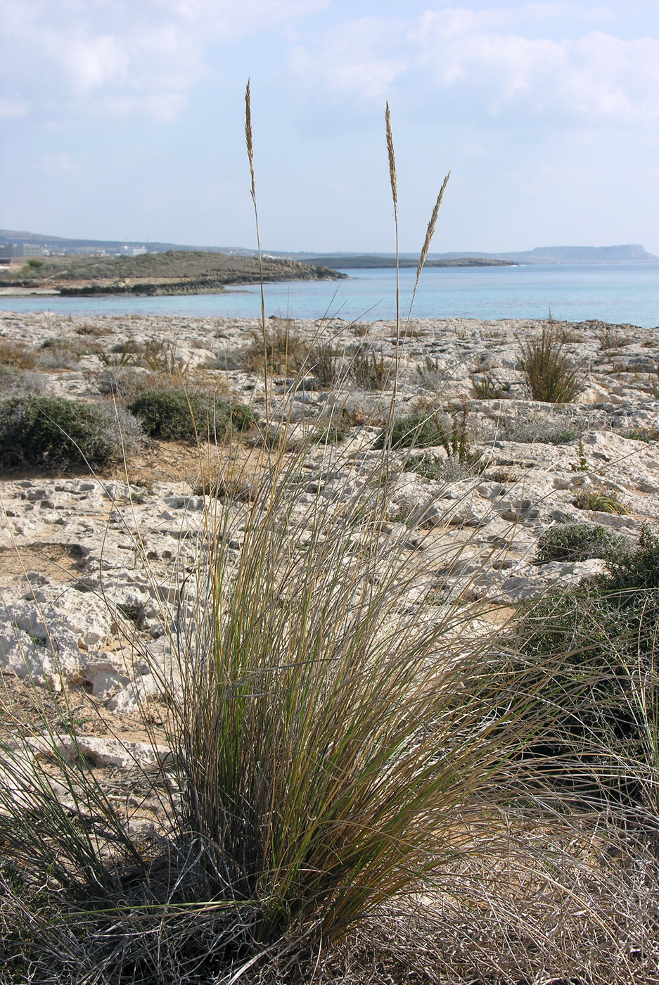 https://pictures.bgbm.org/digilib/Scaler?fn=Cyprus/Ammophila_arenaria_A1.jpg&mo=file