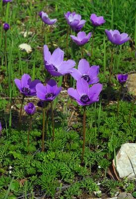 https://pictures.bgbm.org/digilib/Scaler?fn=Cyprus/Anemone_coronaria_A1.jpg&mo=fit&dw=400&dh=400&uvfix=1