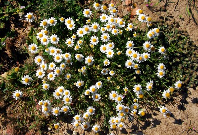 https://pictures.bgbm.org/digilib/Scaler?fn=Cyprus/Anthemis_pseudocotula_s_rotata_A1.jpg&mo=fit&dw=400&dh=400