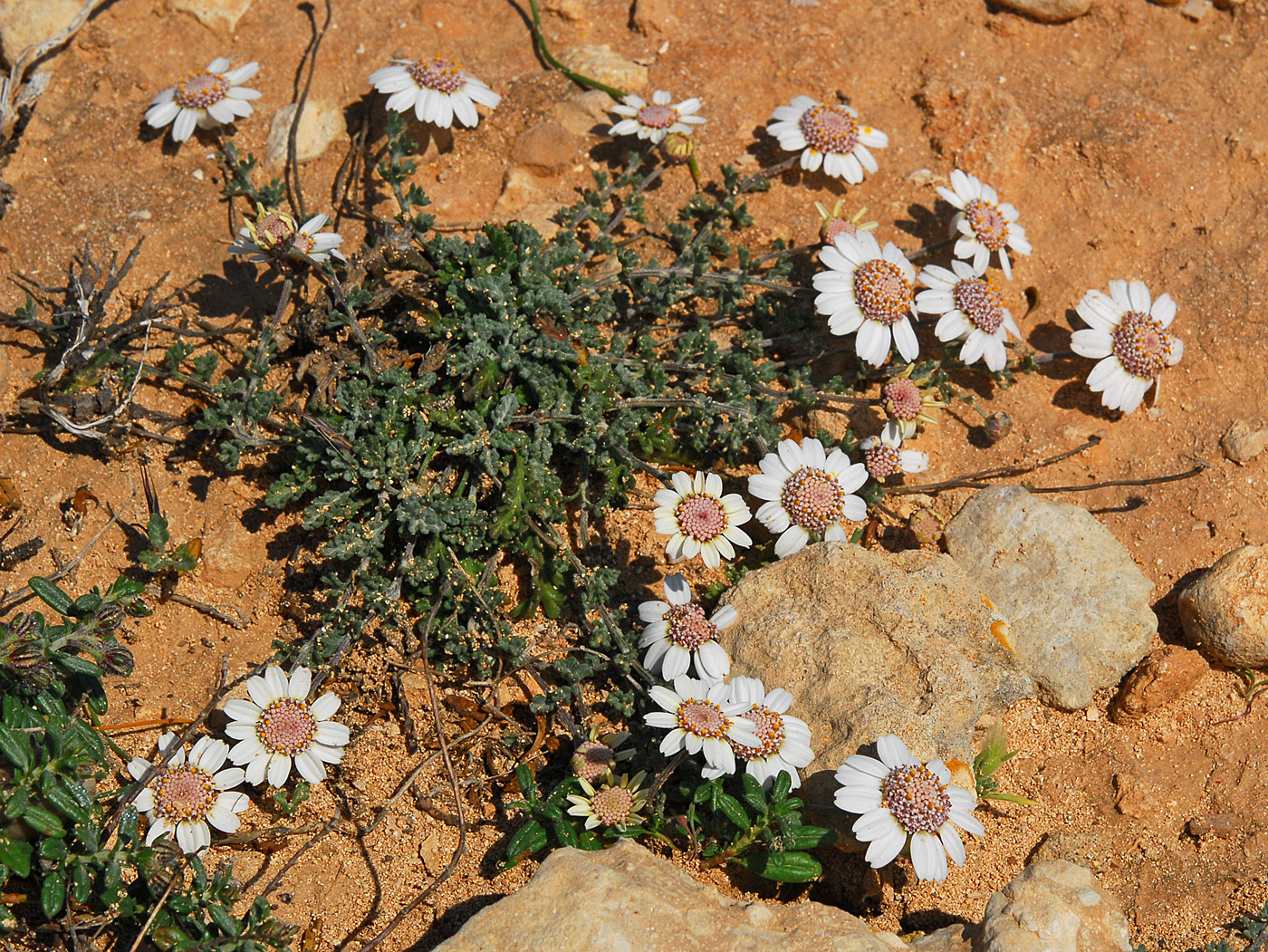 https://pictures.bgbm.org/digilib/Scaler?fn=Cyprus/Anthemis_tricolor_A1.jpg&mo=file