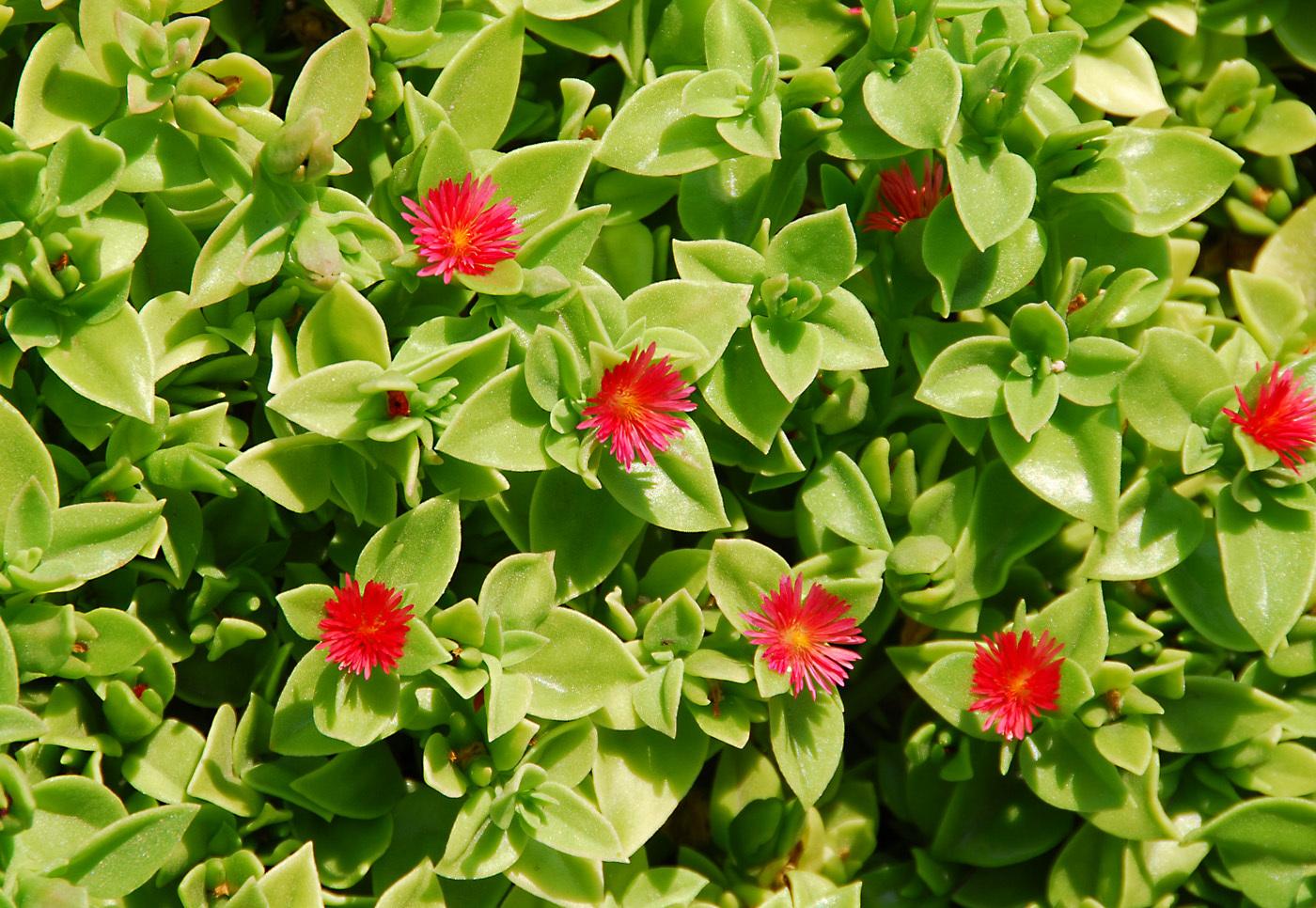 https://pictures.bgbm.org/digilib/Scaler?fn=Cyprus/Aptenia_cordifolia_B1.jpg&mo=file