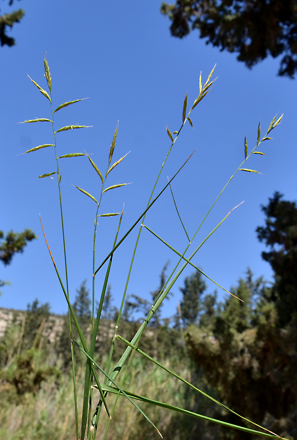https://pictures.bgbm.org/digilib/Scaler?fn=Cyprus/Brachypodium_pinnatum_B1.jpg&mo=file