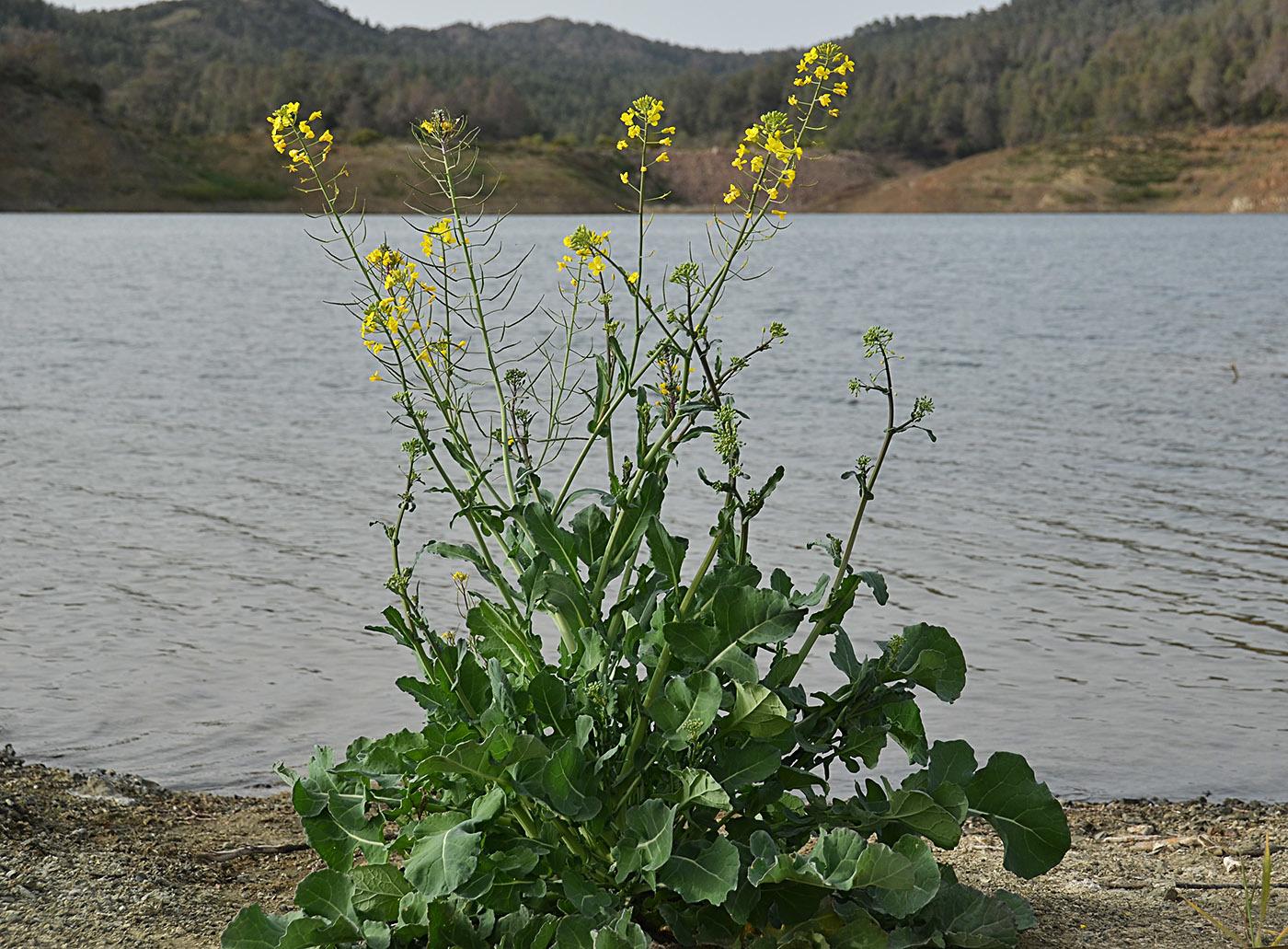 https://pictures.bgbm.org/digilib/Scaler?fn=Cyprus/Brassica_napus_A1.jpg&mo=file