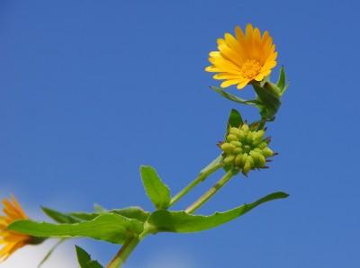 https://pictures.bgbm.org/digilib/Scaler?fn=Cyprus/Calendula_arvensis_B2.jpg&mo=fit&dw=400&dh=400&uvfix=1