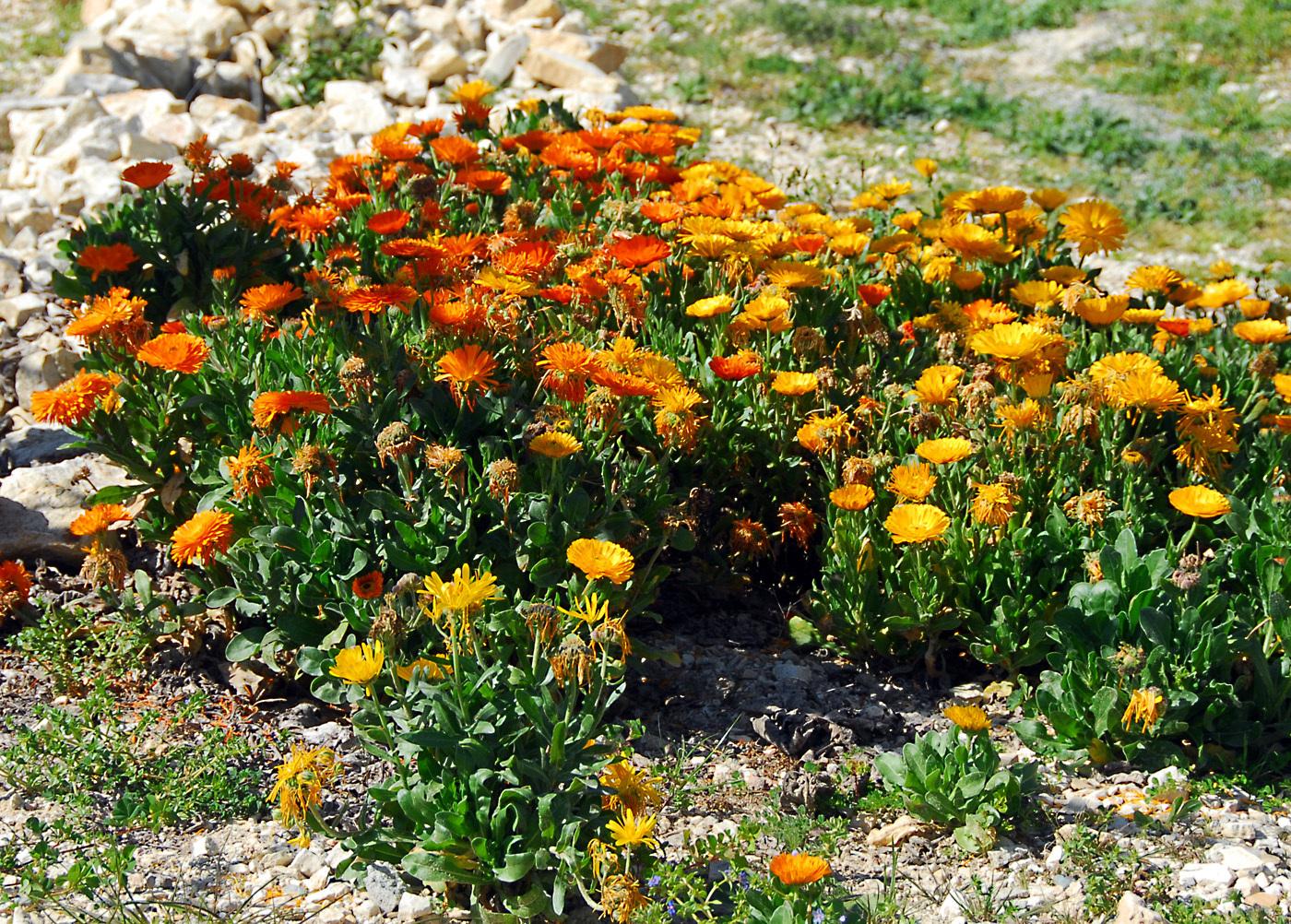 https://pictures.bgbm.org/digilib/Scaler?fn=Cyprus/Calendula_officinalis_B1.jpg&mo=file
