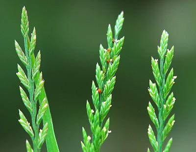 https://pictures.bgbm.org/digilib/Scaler?fn=Cyprus/Catapodium_marinum_B1.jpg&mo=fit&dw=400&dh=400&uvfix=1
