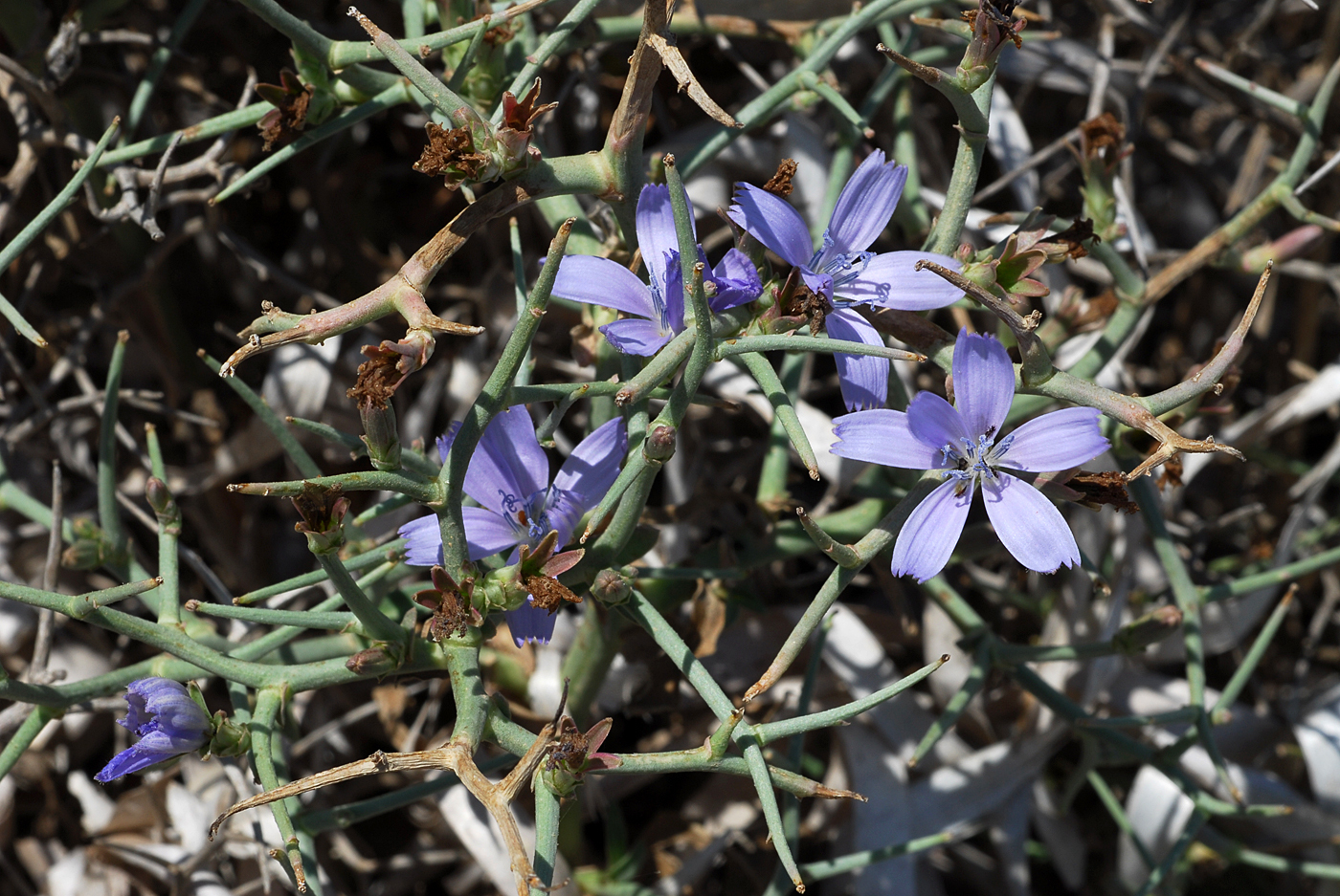 https://pictures.bgbm.org/digilib/Scaler?fn=Cyprus/Cichorium_spinosum_B2.jpg&mo=file