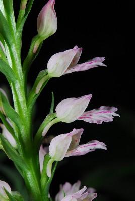 https://pictures.bgbm.org/digilib/Scaler?fn=Cyprus/Dactylorhiza_iberica_B2.jpg&mo=fit&dw=400&dh=400&uvfix=1