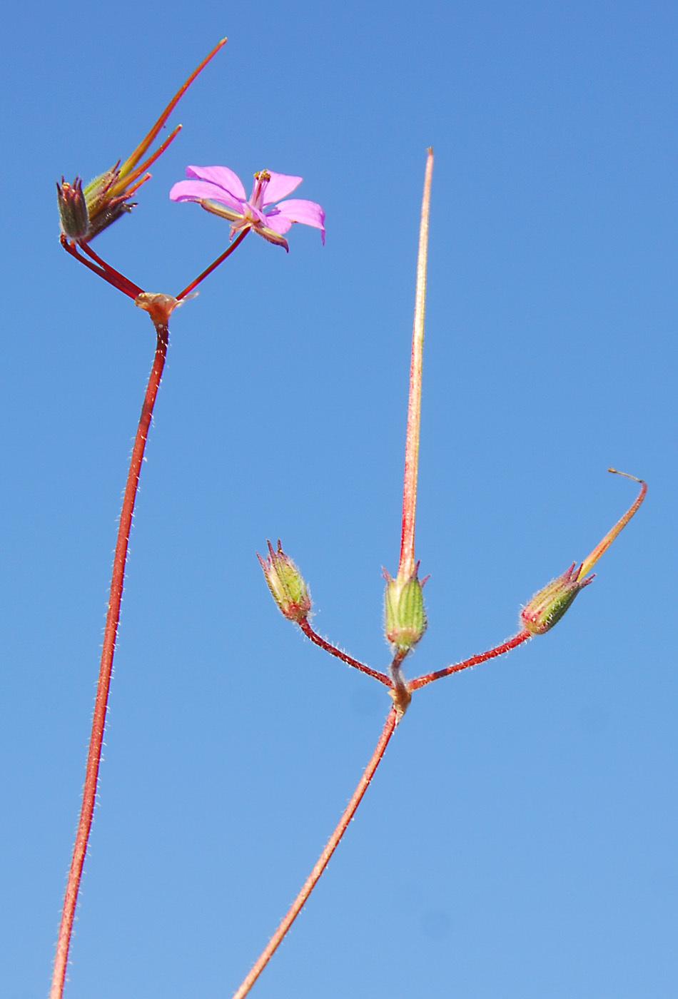 https://pictures.bgbm.org/digilib/Scaler?fn=Cyprus/Erodium_laciniatum_B1.jpg&mo=file