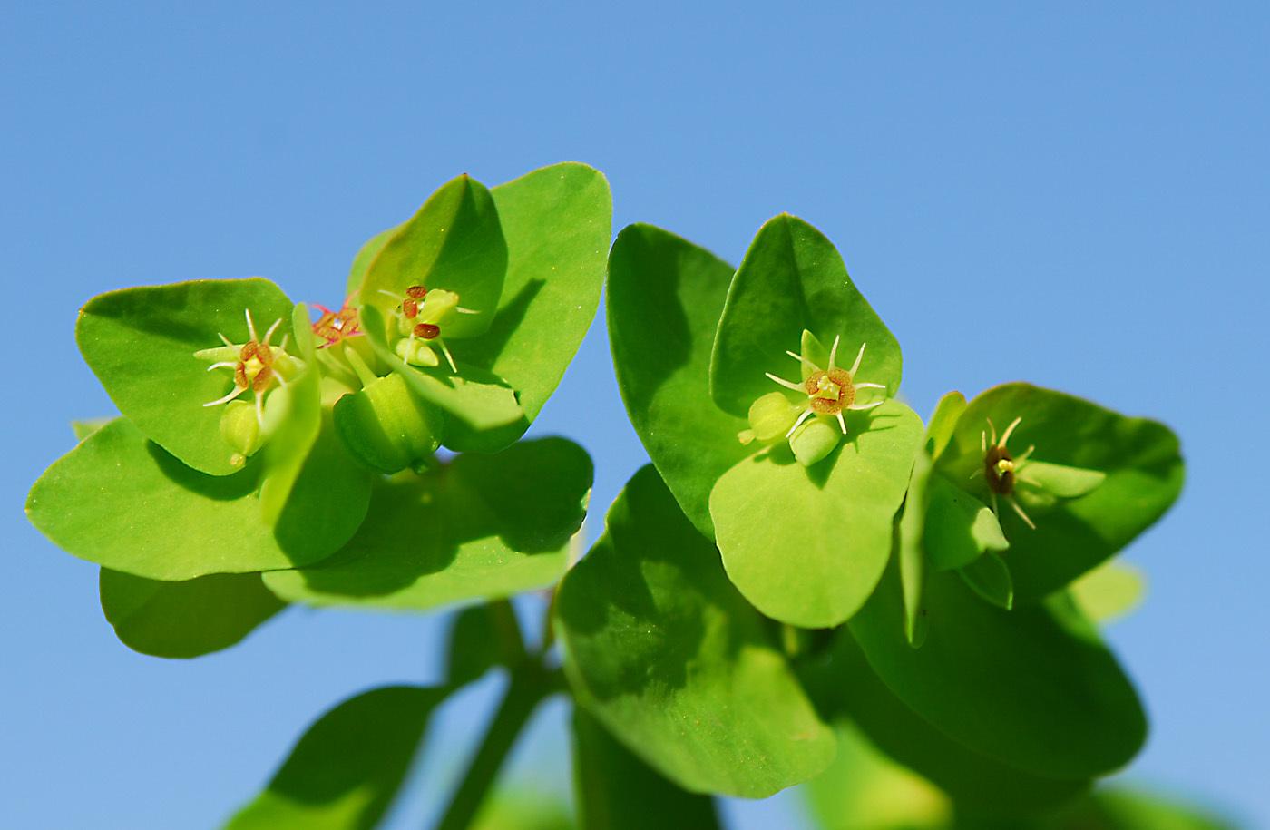 https://pictures.bgbm.org/digilib/Scaler?fn=Cyprus/Euphorbia_peplus_B1.jpg&mo=file