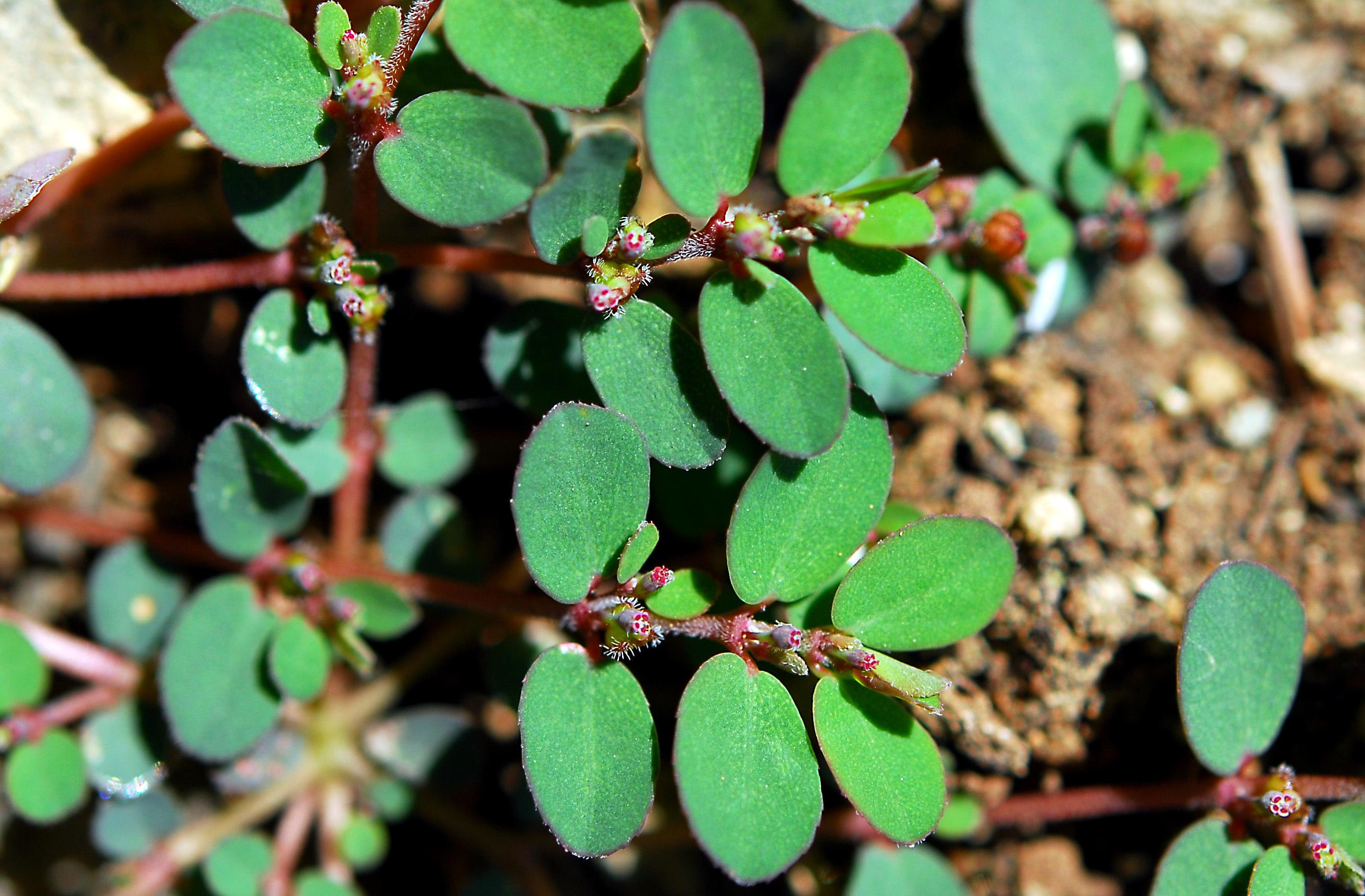 https://pictures.bgbm.org/digilib/Scaler?fn=Cyprus/Euphorbia_prostrata_B1.jpg&mo=file