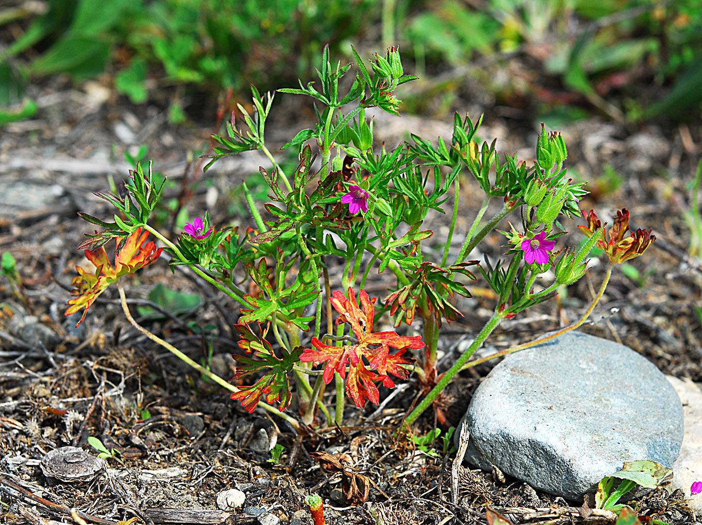 https://pictures.bgbm.org/digilib/Scaler?fn=Cyprus/Geranium_dissectum_A1.jpg&mo=file