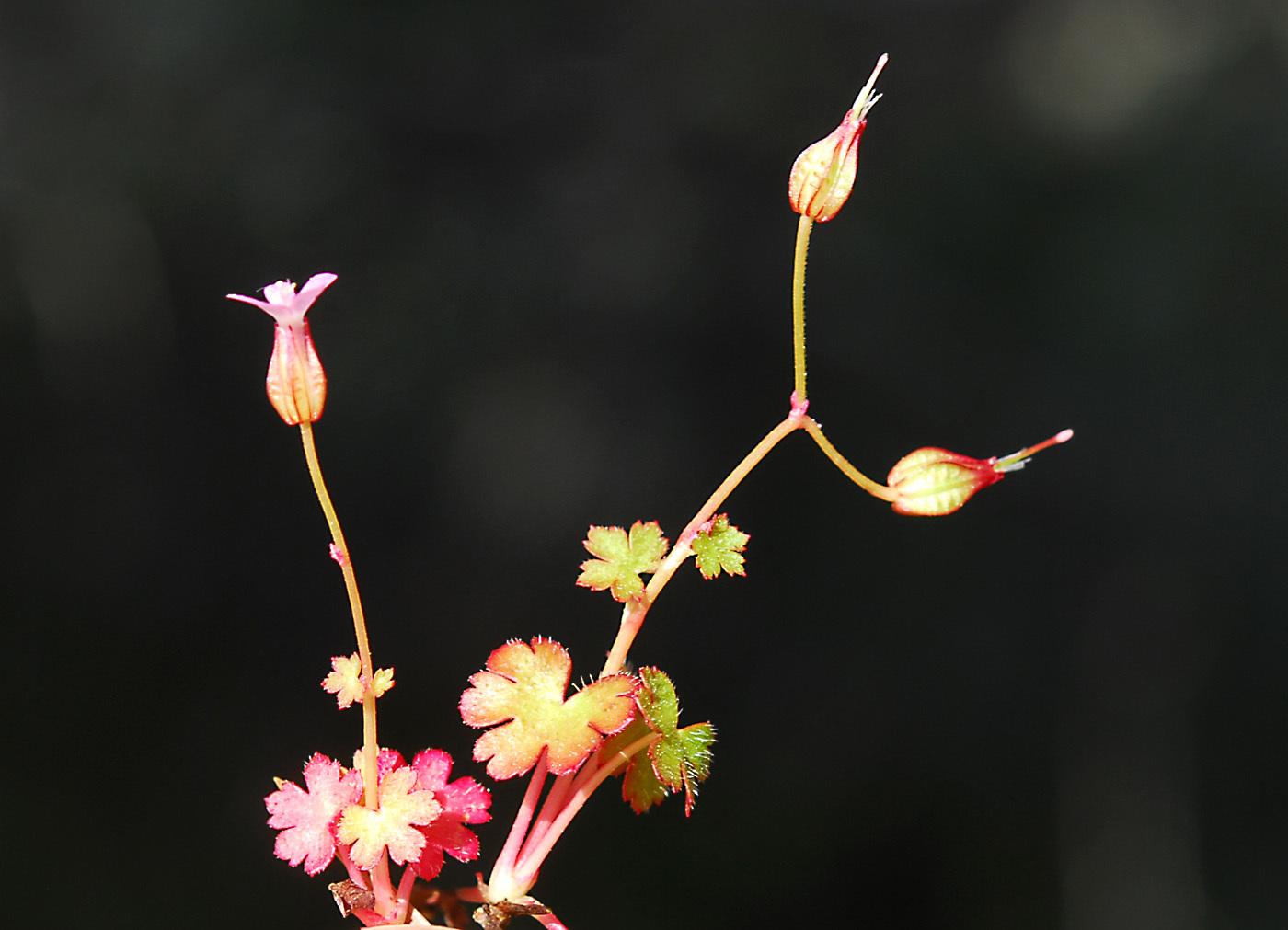 https://pictures.bgbm.org/digilib/Scaler?fn=Cyprus/Geranium_lucidum_B1.jpg&mo=file