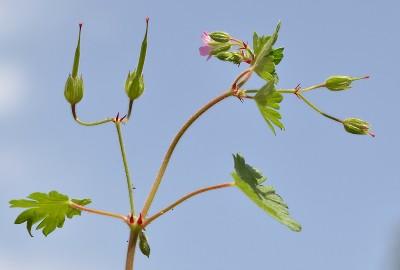 https://pictures.bgbm.org/digilib/Scaler?fn=Cyprus/Geranium_purpureum_B1.jpg&mo=fit&dw=400&dh=400&uvfix=1