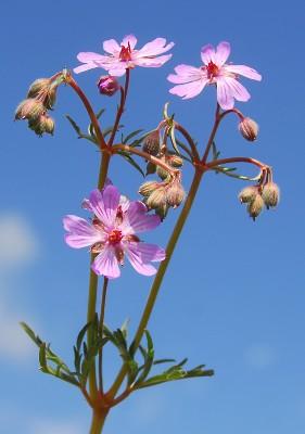 https://pictures.bgbm.org/digilib/Scaler?fn=Cyprus/Geranium_tuberosum_B1.jpg&mo=fit&dw=400&dh=400&uvfix=1