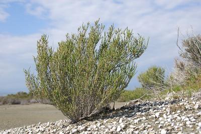 https://pictures.bgbm.org/digilib/Scaler?fn=Cyprus/Halocnemum_strobilaceum_A1.jpg&mo=fit&dw=400&dh=400&uvfix=1