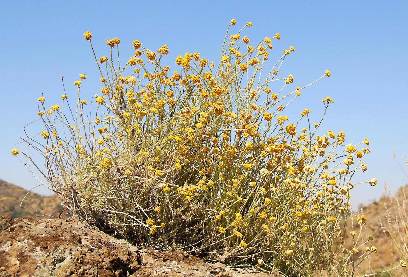 https://pictures.bgbm.org/digilib/Scaler?fn=Cyprus/Helichrysum_italicum_A1.jpg&mo=file