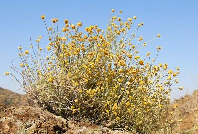 https://pictures.bgbm.org/digilib/Scaler?fn=Cyprus/Helichrysum_italicum_A1.jpg&mo=fit&dw=400&dh=400&uvfix=1