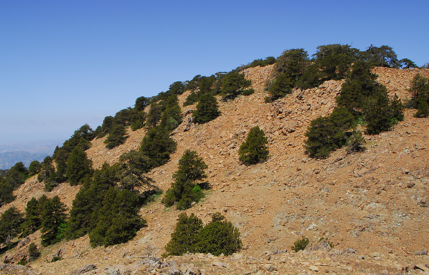 https://pictures.bgbm.org/digilib/Scaler?fn=Cyprus/Juniperus_foetidissima_E1.jpg&mo=file