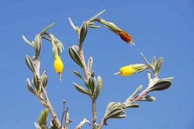 https://pictures.bgbm.org/digilib/Scaler?fn=Cyprus/Onosma_fruticosa_B1.jpg&mo=fit&dw=400&dh=400&uvfix=1