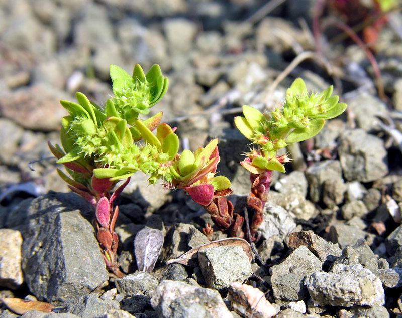 https://pictures.bgbm.org/digilib/Scaler?fn=Cyprus/Paronychia_echinulata_A1.jpg&mo=file