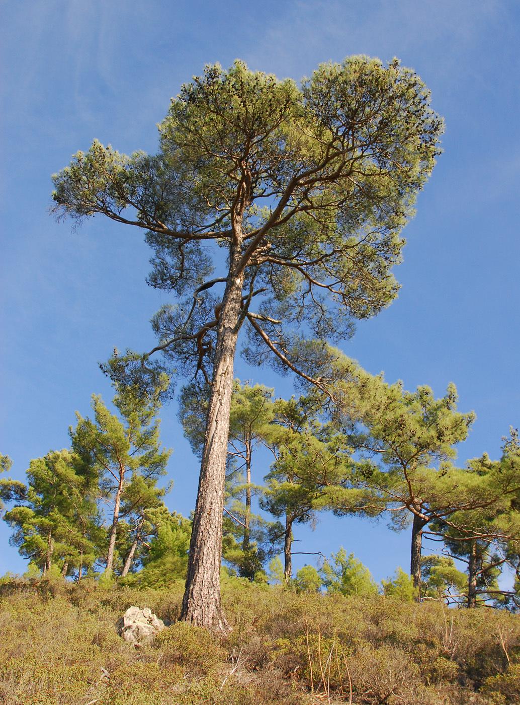 https://pictures.bgbm.org/digilib/Scaler?fn=Cyprus/Pinus_brutia_A2.jpg&mo=file