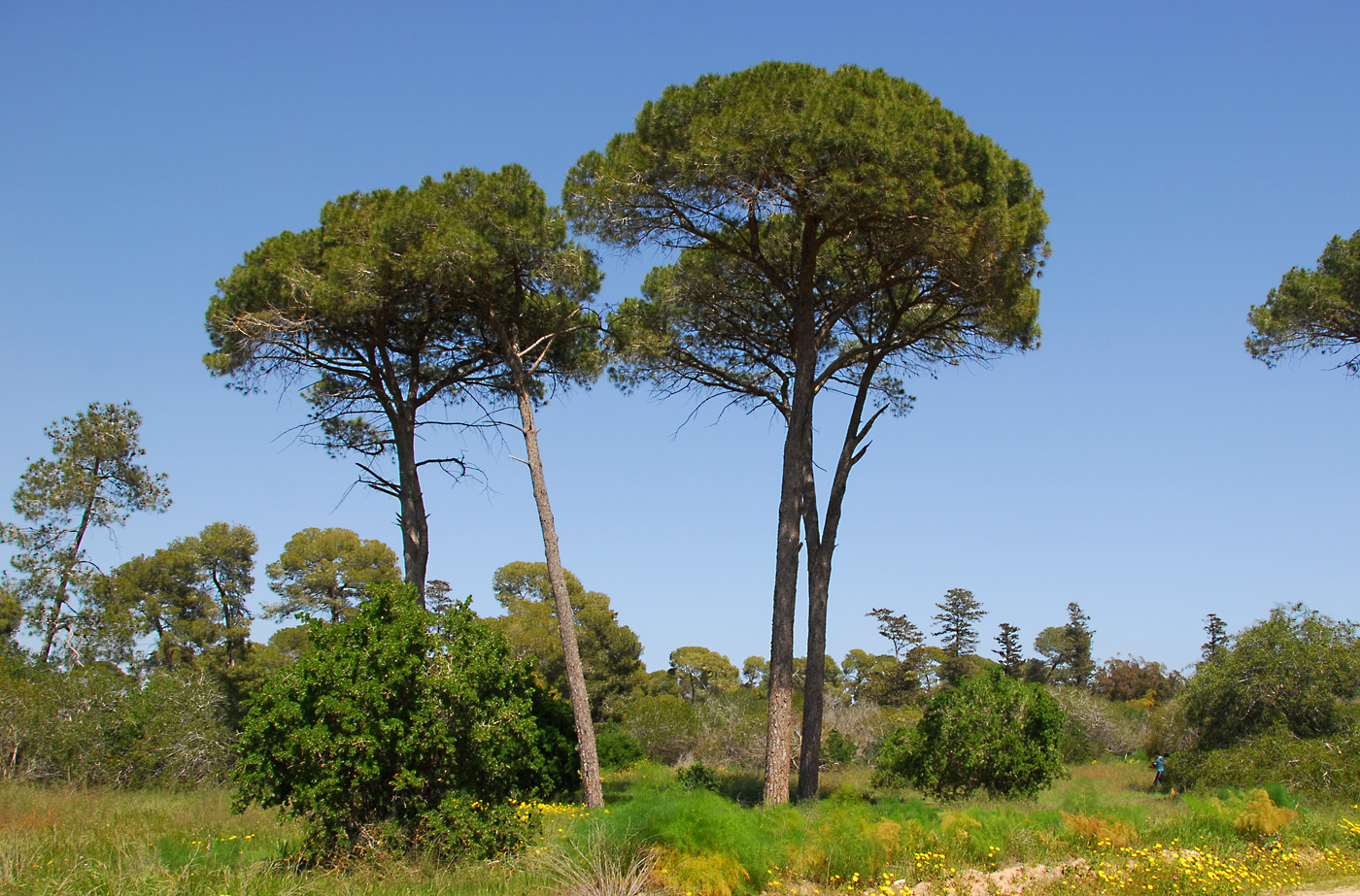 https://pictures.bgbm.org/digilib/Scaler?fn=Cyprus/Pinus_pinea_A1.jpg&mo=file