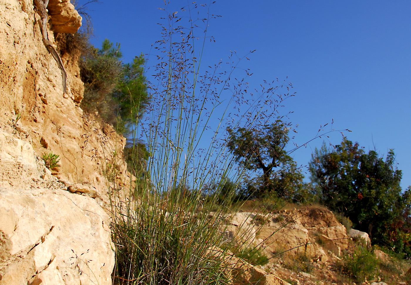 https://pictures.bgbm.org/digilib/Scaler?fn=Cyprus/Piptatherum_coerulescens_A1.jpg&mo=file
