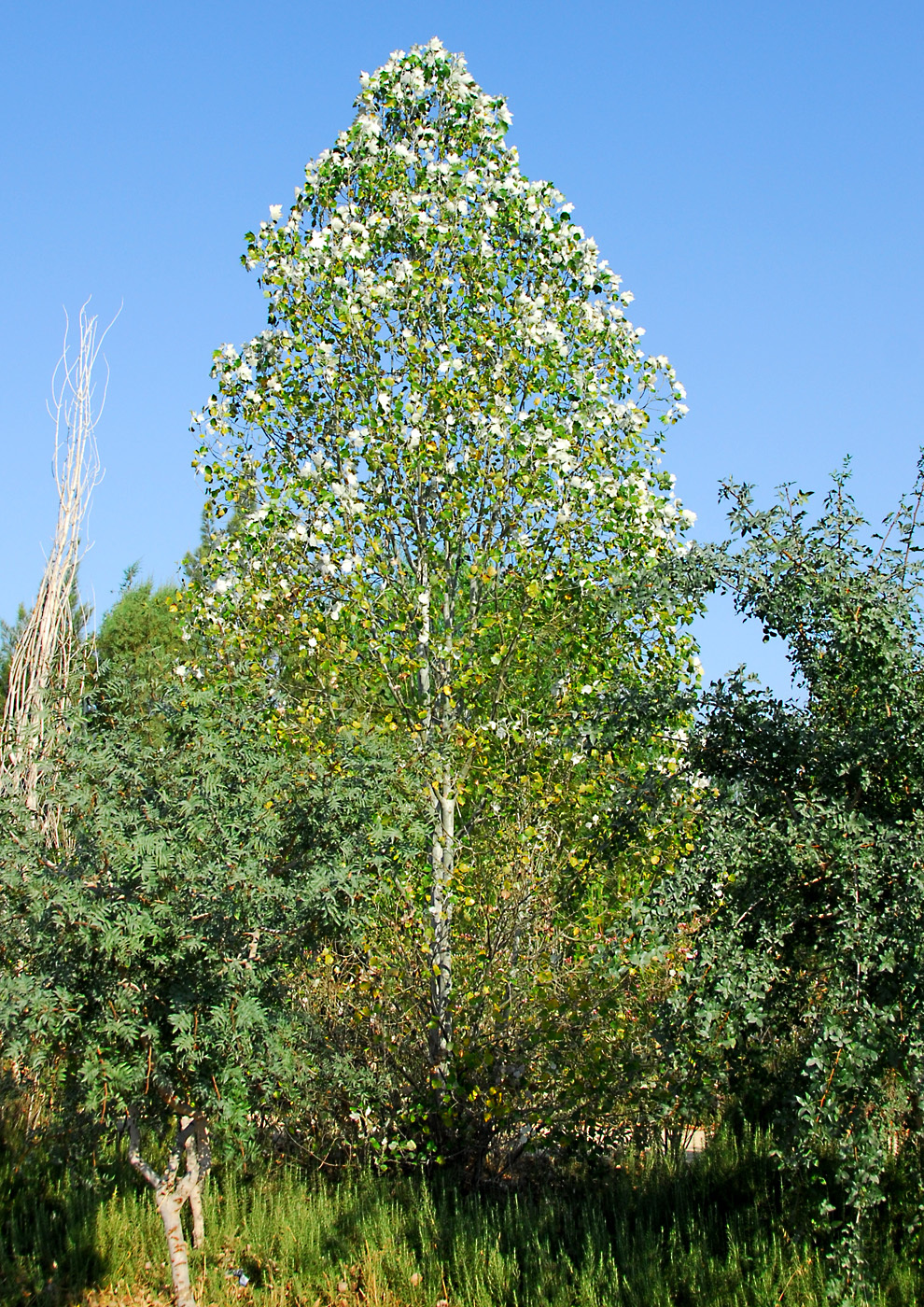 https://pictures.bgbm.org/digilib/Scaler?fn=Cyprus/Populus_alba_A1.jpg&mo=file