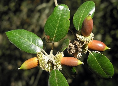 https://pictures.bgbm.org/digilib/Scaler?fn=Cyprus/Quercus_alnifolia_C1.jpg&mo=fit&dw=400&dh=400