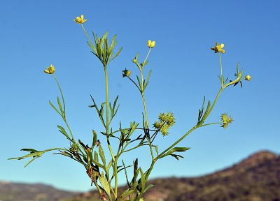https://pictures.bgbm.org/digilib/Scaler?fn=Cyprus/Ranunculus_arvensis_A1.jpg&mo=fit&dw=400&dh=400