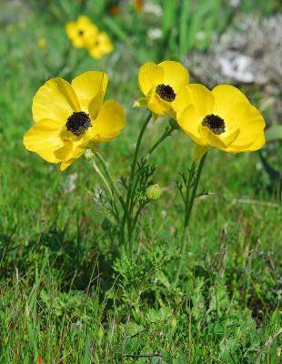 https://pictures.bgbm.org/digilib/Scaler?fn=Cyprus/Ranunculus_asiaticus_B1.jpg&mo=fit&dw=400&dh=400