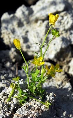 https://pictures.bgbm.org/digilib/Scaler?fn=Cyprus/Ranunculus_cornutus_A1.jpg&mo=fit&dw=400&dh=400&uvfix=1