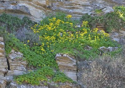 https://pictures.bgbm.org/digilib/Scaler?fn=Cyprus/Ranunculus_creticus_A1.jpg&mo=fit&dw=400&dh=400