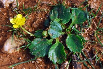 https://pictures.bgbm.org/digilib/Scaler?fn=Cyprus/Ranunculus_cytheraeus_A1.jpg&mo=fit&dw=400&dh=400