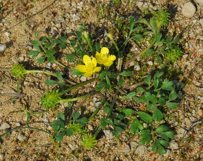 https://pictures.bgbm.org/digilib/Scaler?fn=Cyprus/Ranunculus_isthmicus_A2.jpg&mo=fit&dw=400&dh=400