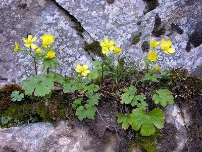 https://pictures.bgbm.org/digilib/Scaler?fn=Cyprus/Ranunculus_kykkoensis_A1.jpg&mo=fit&dw=400&dh=400&uvfix=1