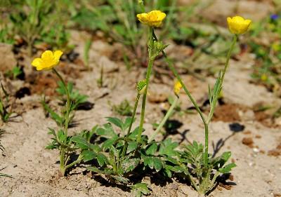 https://pictures.bgbm.org/digilib/Scaler?fn=Cyprus/Ranunculus_paludosus_A1.jpg&mo=fit&dw=400&dh=400