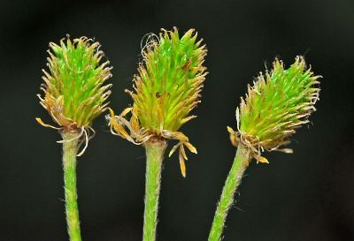 https://pictures.bgbm.org/digilib/Scaler?fn=Cyprus/Ranunculus_rumelicus_C1.jpg&mo=fit&dw=400&dh=400&uvfix=1