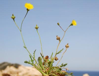 https://pictures.bgbm.org/digilib/Scaler?fn=Cyprus/Reichardia_picroides_A1.jpg&mo=fit&dw=400&dh=400