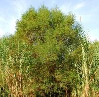 https://pictures.bgbm.org/digilib/Scaler?fn=Cyprus/Salix_alba_A2.jpg&mo=fit&dw=200&dh=200