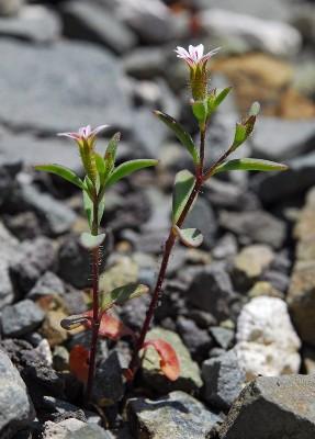 https://pictures.bgbm.org/digilib/Scaler?fn=Cyprus/Saponaria_orientalis_A1.jpg&mo=fit&dw=400&dh=400&uvfix=1
