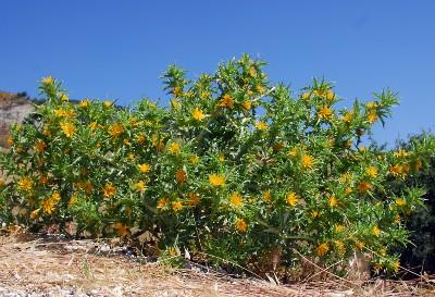 https://pictures.bgbm.org/digilib/Scaler?fn=Cyprus/Scolymus_hispanicus_A2.jpg&mo=fit&dw=400&dh=400&uvfix=1