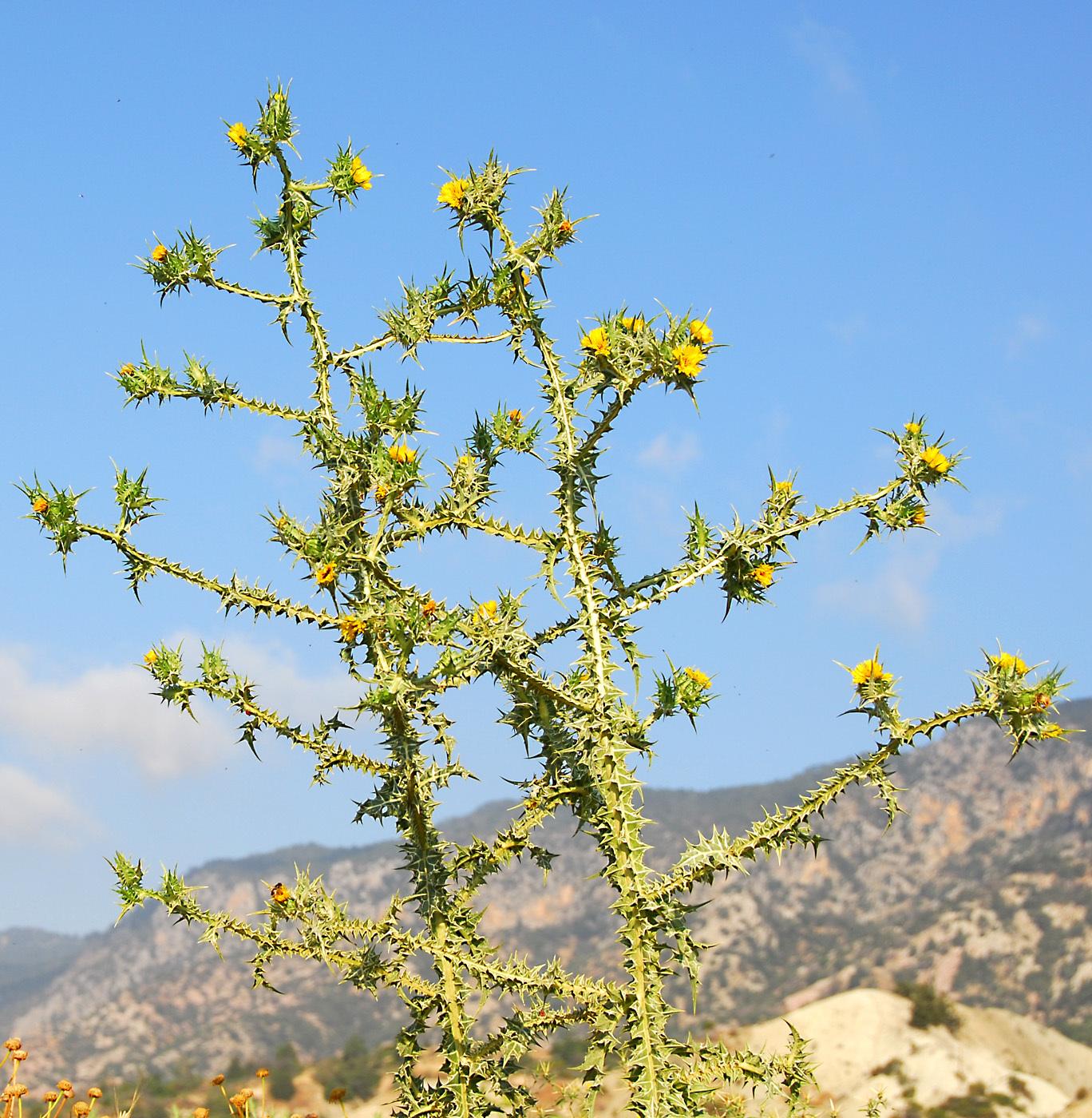 https://pictures.bgbm.org/digilib/Scaler?fn=Cyprus/Scolymus_maculatus_A1.jpg&mo=file