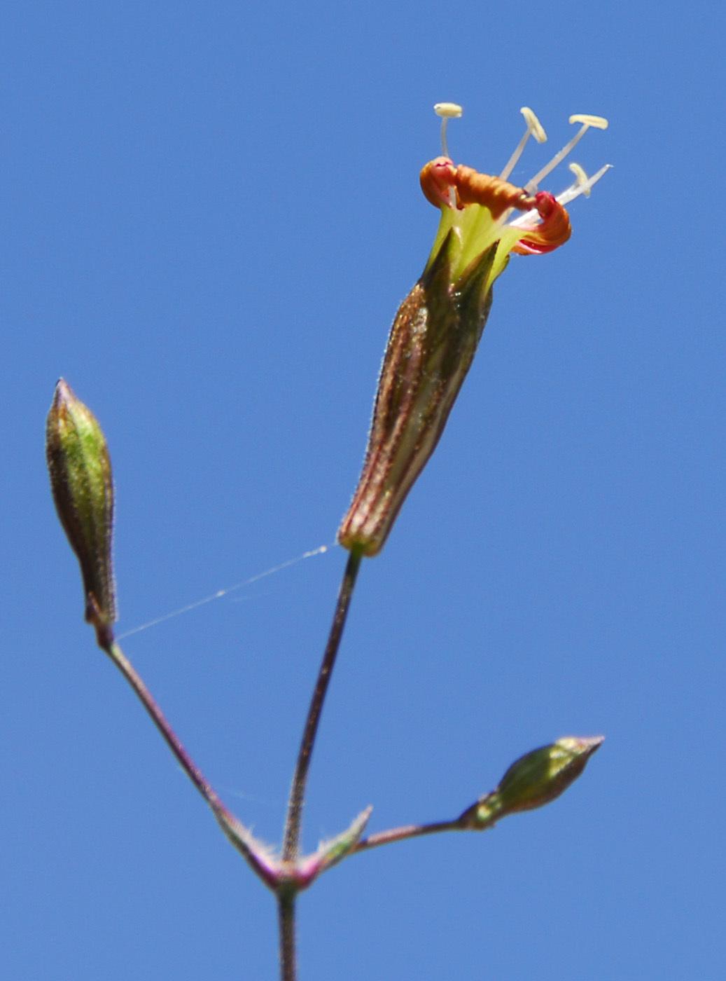 https://pictures.bgbm.org/digilib/Scaler?fn=Cyprus/Silene_galataea_B1.jpg&mo=file