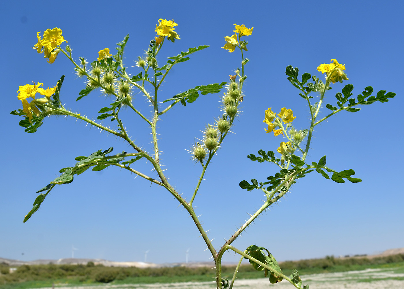 https://pictures.bgbm.org/digilib/Scaler?fn=Cyprus/Solanum_cornutum_A2.jpg&mo=file